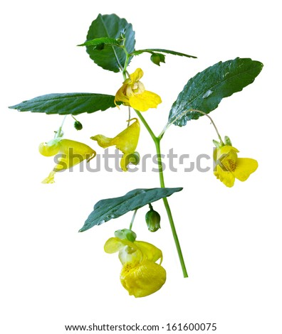 Yellow Pale Jewelweed Touch-me-not wildflower isolated on white background - stock photo