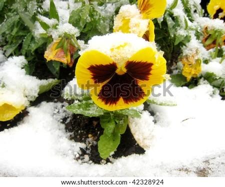 Yellow  pansy under snow - stock photo