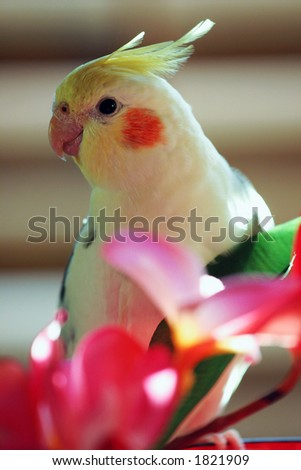 Yellow parrot, Cockatiel with pink flowers - stock photo