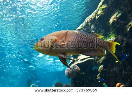 Yellow parrotfish (Scaridae) underwater close-up - stock photo