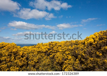 Yellow pea flowers on Howth cliffs in Ireland against a cloudy deep blue sky - stock photo