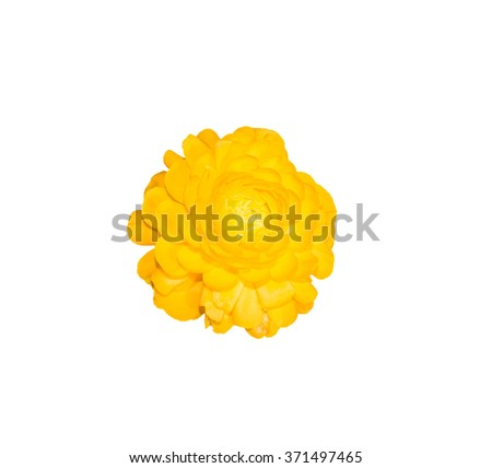 Yellow persian buttercup flowers (ranunculus) isolate on white background. - stock photo