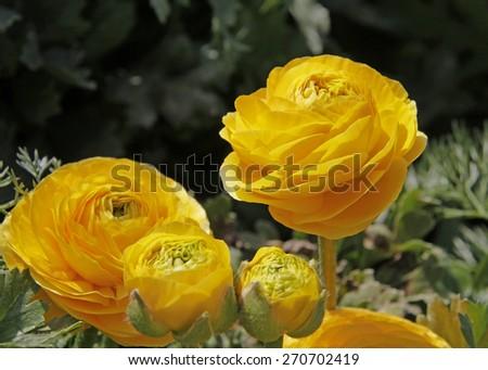 Yellow Persian buttercups in the garden, Ranunculus asiaticus - stock photo