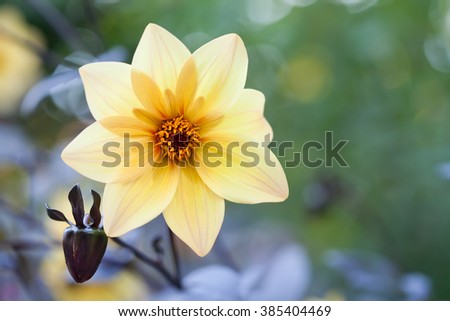 Yellow petals flower. Blooming garden flower. Fresh aster flower side view. Callistephus china art marguerite. soft focus, copy space - stock photo