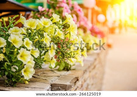 Yellow petunia flowers in summer garden. - stock photo