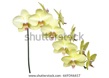 yellow phalaenopsis orchid flowers isolated on stock photo royalty