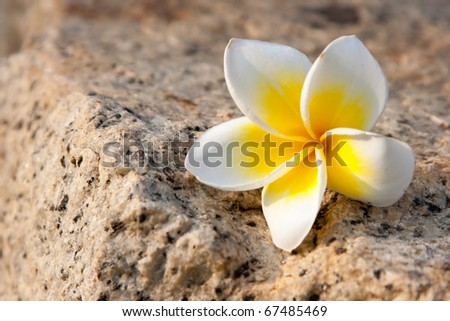 Yellow plumeria flower lay down to the granite, Kholoy Sriracha Thailand - stock photo