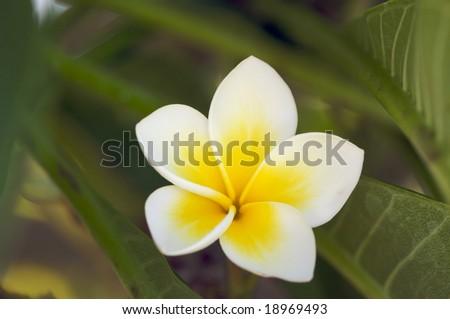 Yellow Plumeria Flowers on the tree in Kauai, Hawaii - stock photo