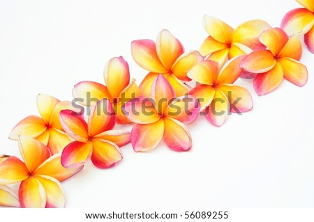 Yellow plumeria for border - stock photo