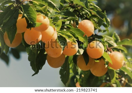 Yellow Plums at Branch Over Blue Sky - stock photo