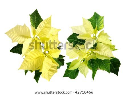 yellow poinsettia - stock photo