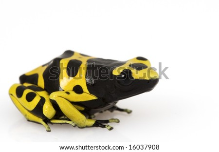 Yellow Poison Arrow Frog (Dendrobates leucomelas) on white background. - stock photo