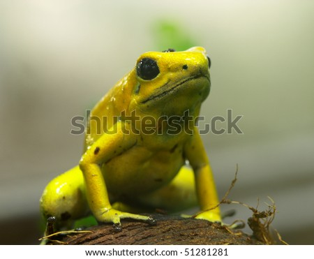 Yellow poison dart frog - stock photo