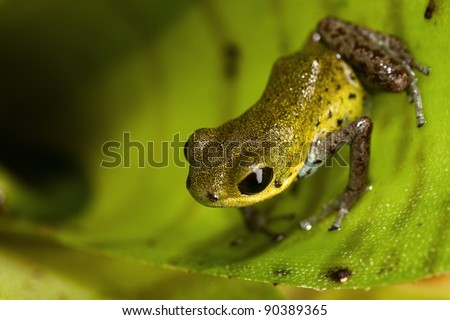 yellow poison dart frog of rain forest in Panama, beautiful poisonous animal with bright warning colors - stock photo