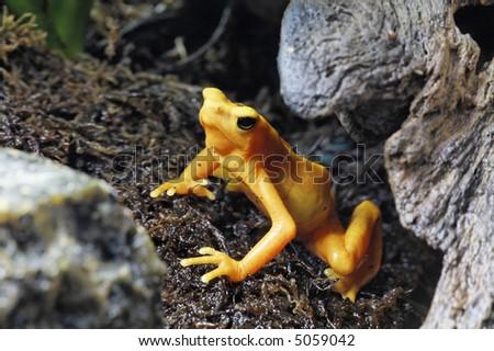 Yellow Poison Tree Frog - stock photo