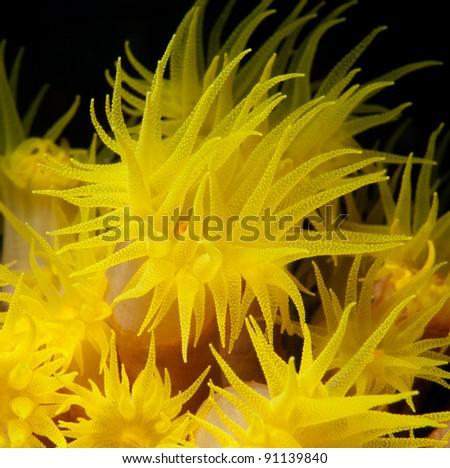 Yellow polyps, macro - stock photo