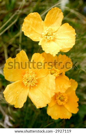 Yellow poppies - stock photo