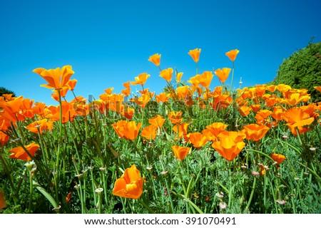 Yellow poppy - stock photo