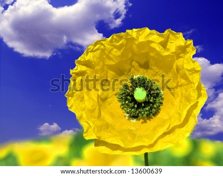 yellow poppy and blue sky