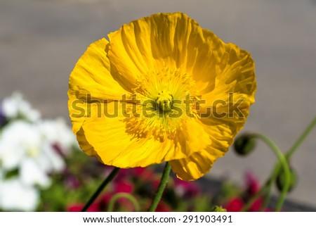 Yellow poppy flower, Banff National Park, Alberta, Canada - stock photo
