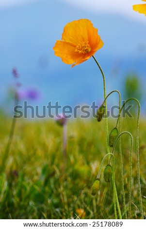 Yellow poppy on the alpine meadow - stock photo