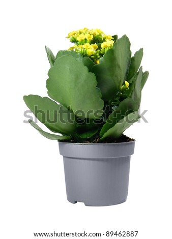 Yellow potted Kalanchoe isolated over white background - stock photo