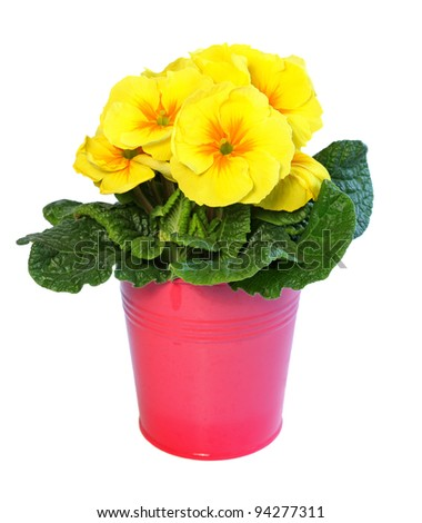 Yellow primrose in a pink metal pot isolated on white. - stock photo