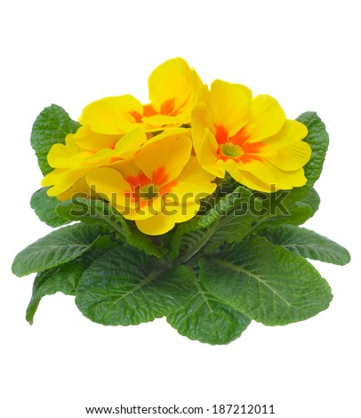 yellow primula flower isolated on white background