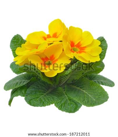 yellow primula flower isolated on white background  - stock photo