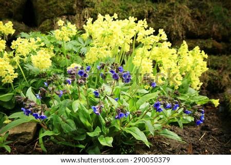 Yellow Primula Vulgaris and blue Lungwort, spring flower in shady corner. Wild garden. - stock photo