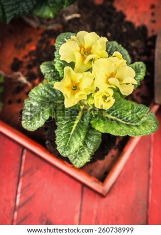 yellow primula with soil on red wooden background, summer gardening - stock photo