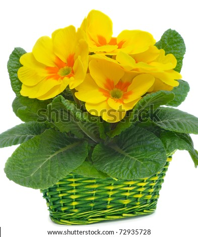 yellow primulas in basket, isolated on white - stock photo