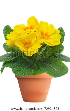 yellow primulas in flowerpot, isolated on white - stock photo