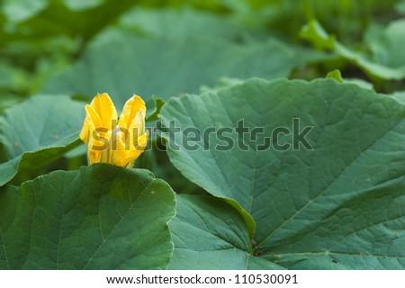 Yellow pumpkin flower among green leaves - stock photo