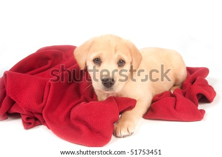 Yellow puppy laying on a red blanket on white background - stock photo