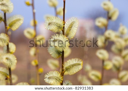 yellow pussywillow branches in spring nature - stock photo
