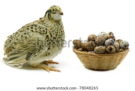 Yellow quail looking at basket with its eggs