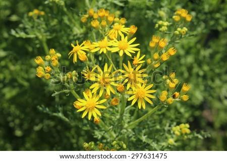 Ragwort Ligularia dentata Britt-Marie Crawford from ...