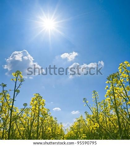yellow rape field under a sparkle sun - stock photo