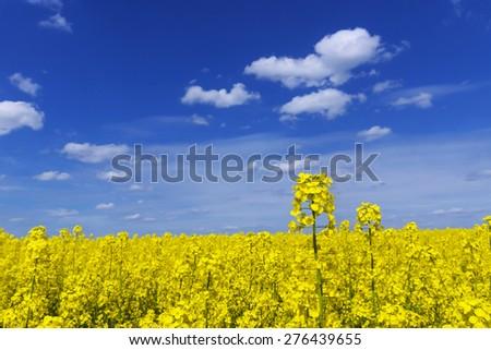 yellow rape field with blue sky - stock photo