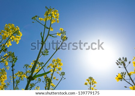 yellow rape flowers in a rays of sun - stock photo