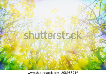 Yellow rape flowers in sunlight, blurred nature background, close up - stock photo