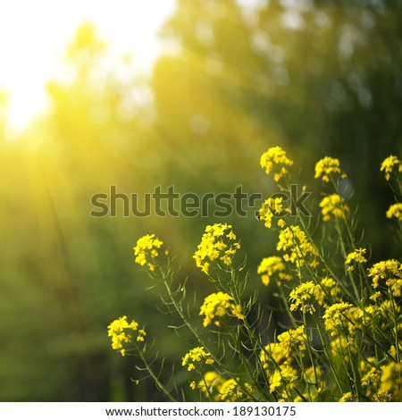 yellow rape flowers in the sunshine - stock photo