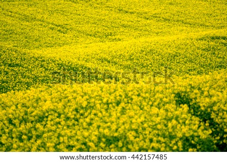 Yellow rape hills in South Moravia, Czech Republic - stock photo