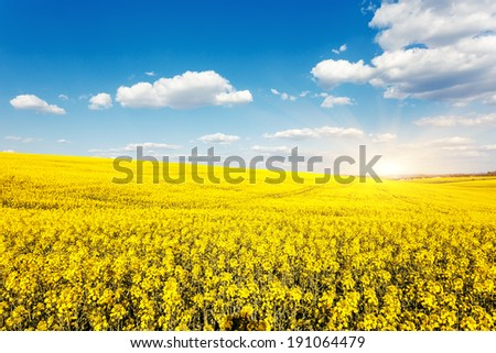 Yellow rapes flowers and blue sky with clouds. Ukraine, Europe. Beauty world. - stock photo