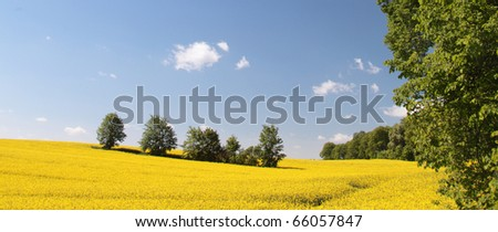 Yellow rapeseed field in bloom with blue sky and white clouds - stock photo