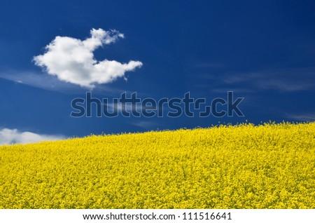 yellow rapeseed field in Latvia - stock photo