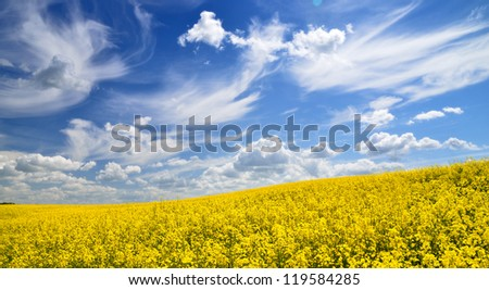 yellow rapeseed field in Latvia - stock photo