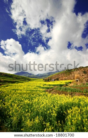 yellow rapeseed field under the sky