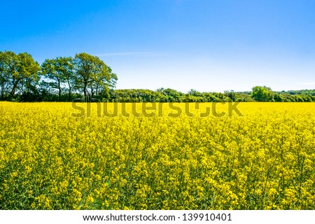 Yellow rapeseed field with trees in the background - stock photo